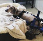 artie-paralyzed-rescued-dachshund-dog-in-wheelchair