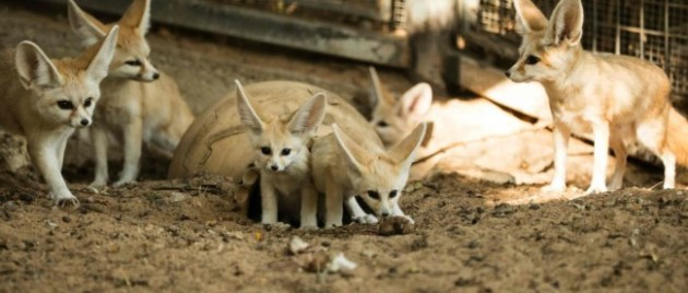Two seven-week old fennec foxes (Vulpes zerda) at the Ramat Gan Safari zoo, on November 6, 2016. Photo Credit: Jack Guez / AFP