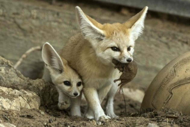 A seven-week old fennec fox (Vulpes zerda) and his mother with a mouse in her mouth at the Ramat Gan Safari zoo, on November 6, 2016. Photo Credit: Jack Guez / AFP