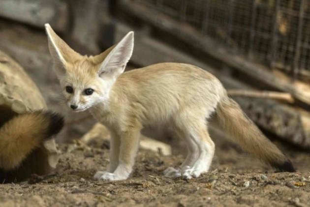 A seven-week old fennec fox (Vulpes zerda) at the Ramat Gan Safari zoo, on November 6, 2016. Photo Credit: Jack Guez / AFP