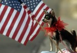 patriotic-chihuahua-dog-stands-next-to-american-flag