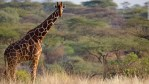 african-giraffes-listed-as-vulnerable-species-facing-extinction