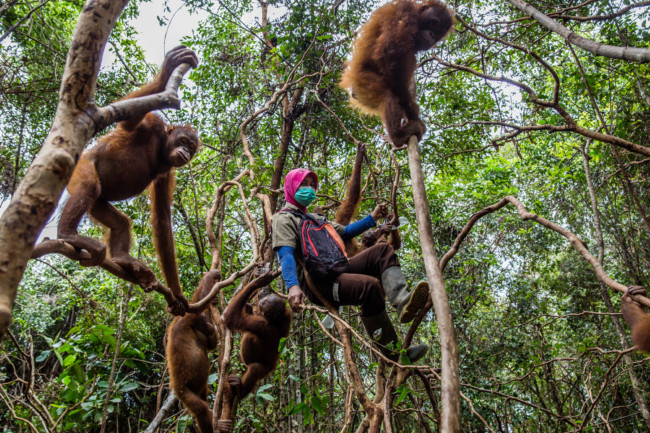 Young orphaned orangutans on a climbing expedition with their keeper at International Animal Rescue's orangutan school in West Kalimantan, Indonesia Photo Credit: Kemal Jufri for The New York Times