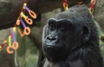 Colo the world's oldest known gorilla dies at Columbus Zoo
