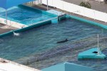 wild whale Kina in tank at Sea Life Park Hawaii