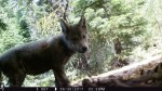 Gray wolf pup close-up encounter with trail cam