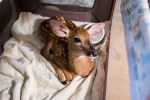baby deer rescued by Storm the dog