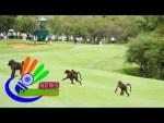 Hey-a-baboon-took-my-golf-ball