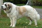 Pyrenean Mastiff dog breed