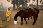 animal rescue volunteer assists two horses rescued during Camp Fire