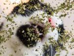 cat eating catnip close-up