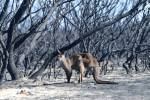 A kangaroo is seen at the Flinders Chase National Park in a bushfire-affected area on Kangaroo Island