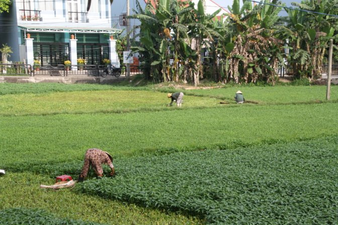 Rice paddy in town.