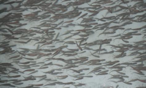Closeup of the salmon fry