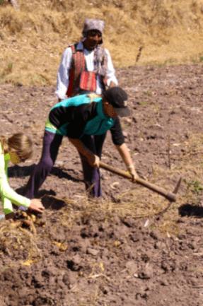 Mikhaila is harvesting potatoes