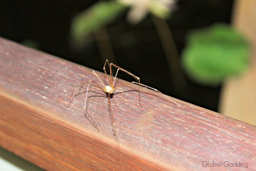 kakadu spider