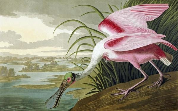 John James Audubon Roseate Spoonbill Art Print