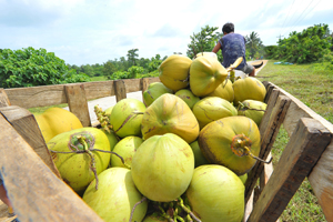 A carabao-drawn cart loaded with freshly harvested young coconuts from barangay Nabbuan, Santiago City