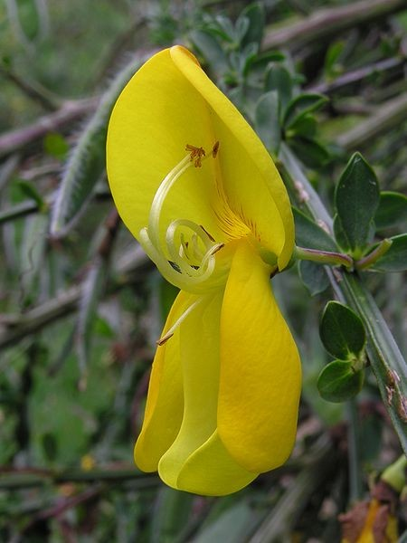 Broom_flower