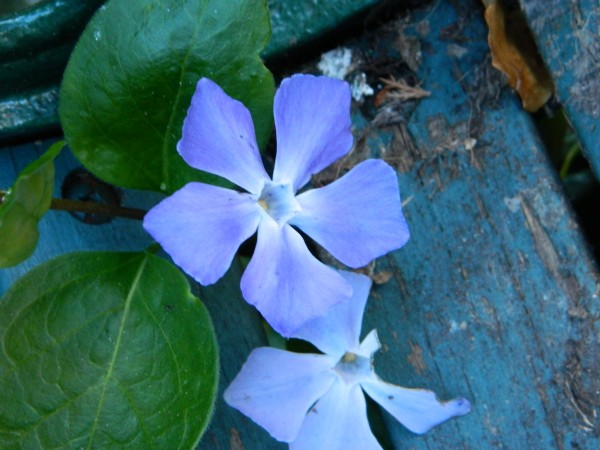 Vinca Major, Photo by PH Morton