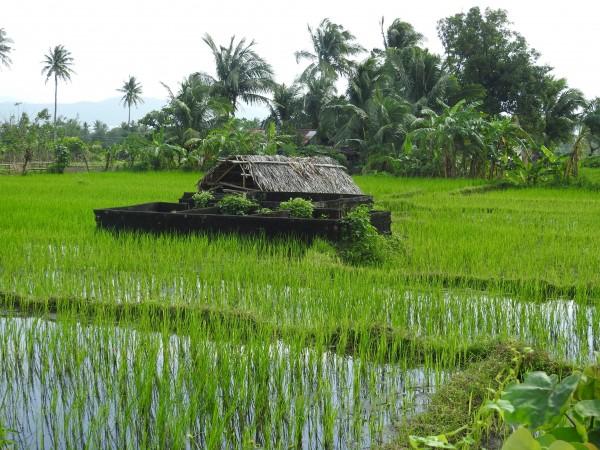 bahay kubo, field, photo by PH Morton