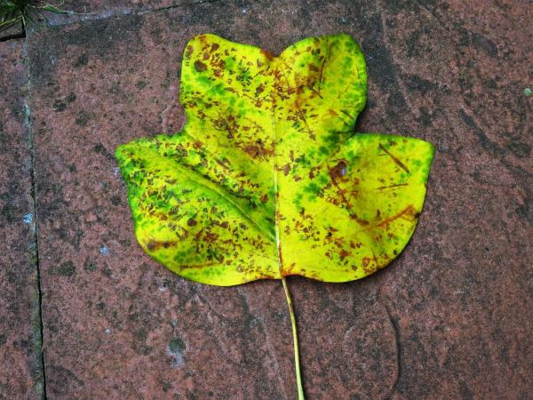 Tulip Tree Leaf, photo by PH Morton