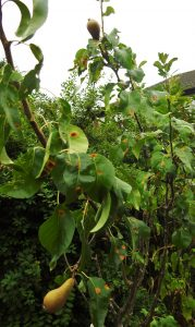 our-pear-tree