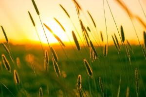 sunset seen through straws on a field
