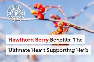 The main benefit of hawthorn berry lies in its effects on heart health.
