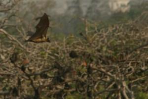 BBC Newsday interviews CIFOR scientist on deforestation, bats and Ebola study