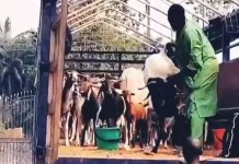 Video And Pictures Of Trailer Load Of Cows And Rams For 31st Night Celebration Ordered By Emoney