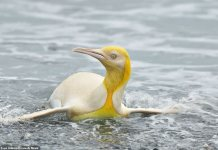 A Wildlife Photographer Yves Adams Captures Photos Of Yellow Penguin