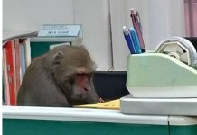 Photos Of A Monkey Working At A University In Taiwan