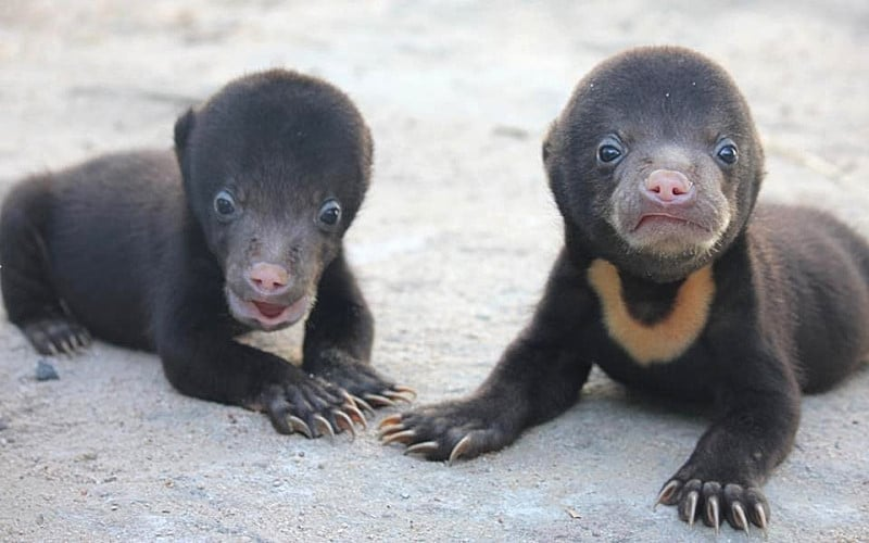 Volunteer with bears in Cambodia