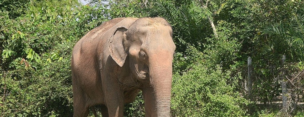 Thailand Elephant Sanctuary Resident