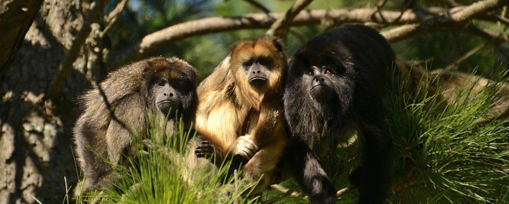 Rescued Howler monkeys