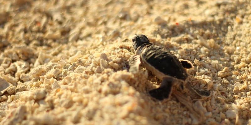 Turtle hatchling at the Borneo sea turtle conservation project