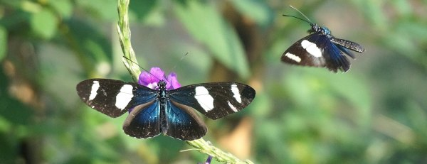 Beatiful butterflies at the Peru Amazon Conservation Project