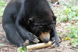 Sun bear searching for food