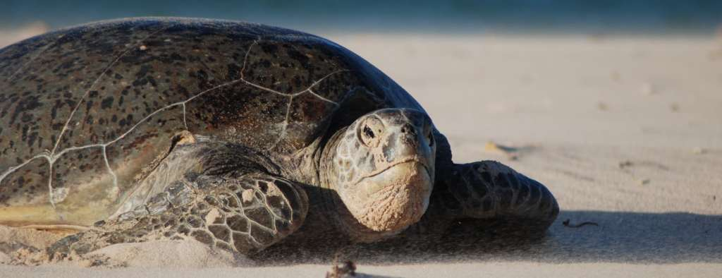 Volunteer with Sea Turtles Costa Rica
