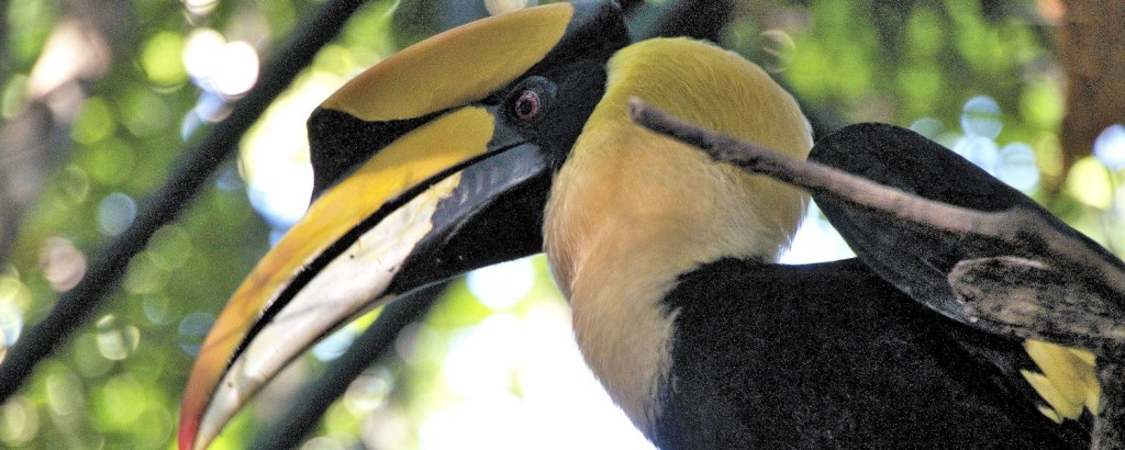 Hornbill at the Thailand Wildlife Sanctuary