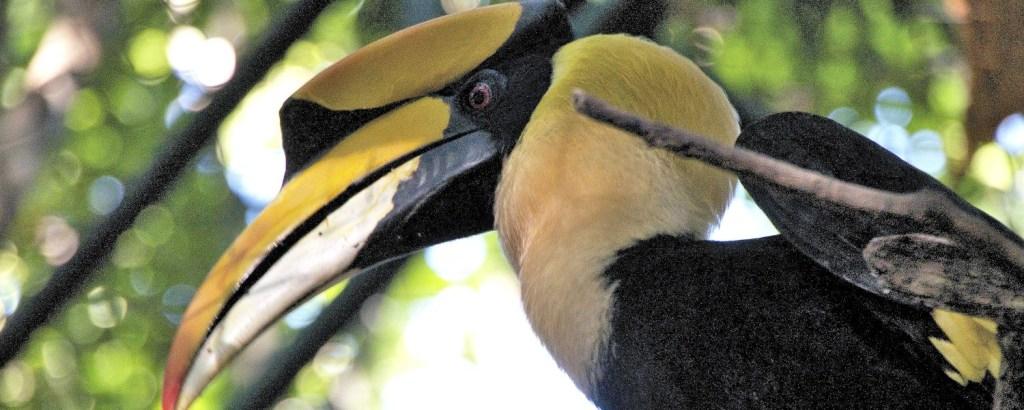 Hornbill at the Thailand Wildlife Sanctuary