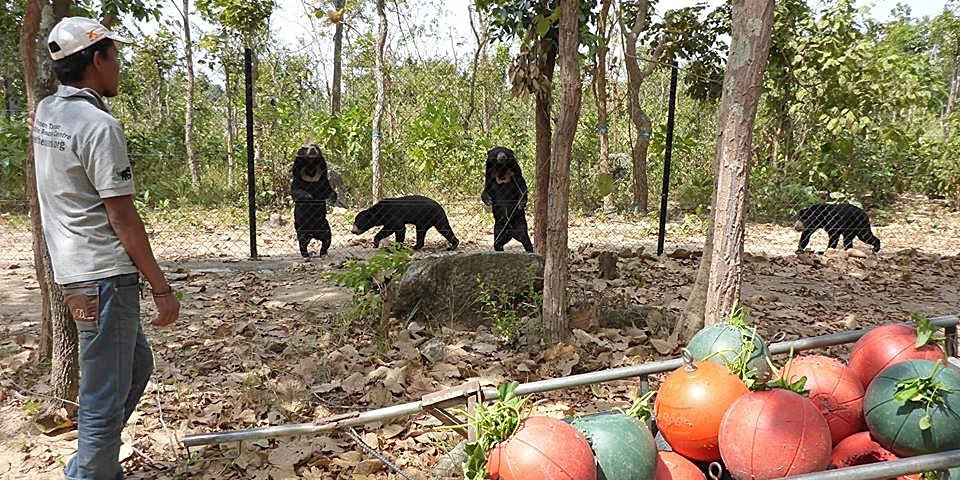 Volunteer at the Cambodia Bear Rescue Centre