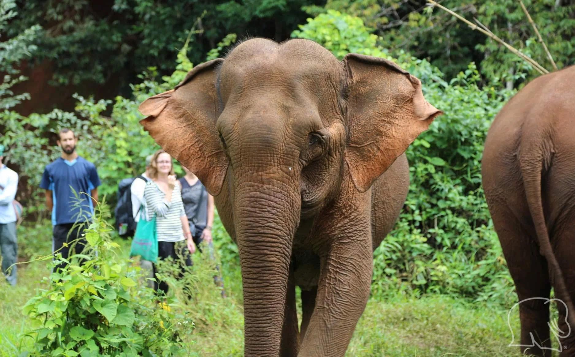 Volunteers with the elephants