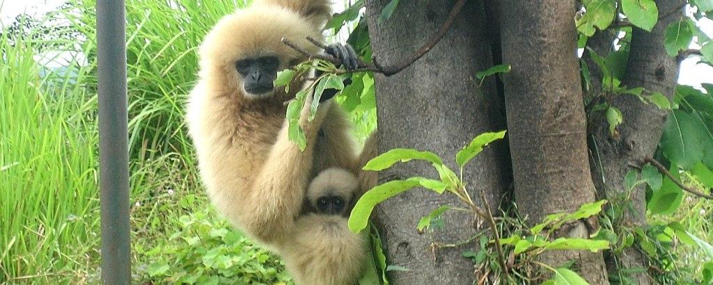 Gibbon at the Thailand wildlife Sanctuary
