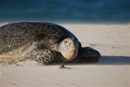 Sea Turtle on beach at Borneo Conservation Project