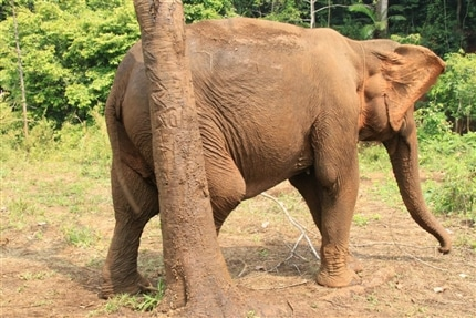 Elephant at the Sanctuary in Thailand