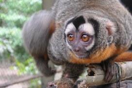 Night Monkey at Peru Wildlife Shelter