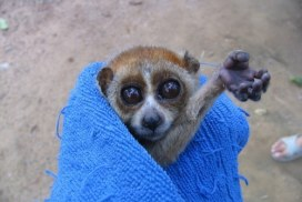 Rescued Loris at Thailand Sanctuary