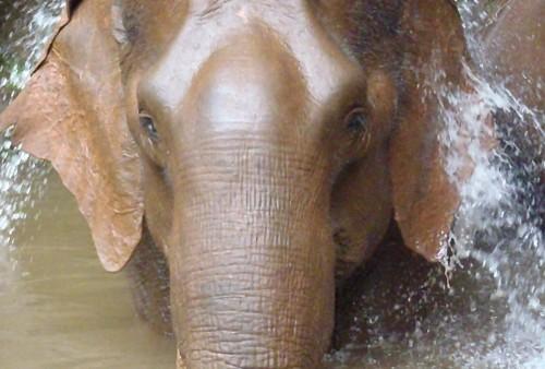 Mae nang, Elephant at Sanctuary Cambodia